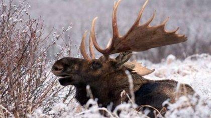 Четырех браконьеров из Астаны задержали с тушами лосей в Карагандинской области