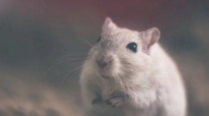Хантавирус: Қытайда емі жоқ жұқпалы аурудың тағы бір түрі тарап жатыр