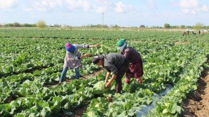 Қырыққабат өсіріп, шығынға батқан түркістандық фермерлердің «бас ауруы» жазылатын күн алыс емес
