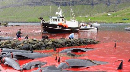 Фарер аралдарында мыңнан аса дельфин өлтірілді