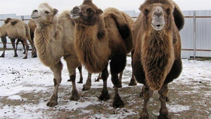 Түркістан облысында жоғалып кеткен 40 түйе табылды
