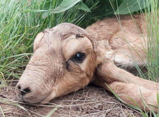 Желіде жаңа туған ақбөкендердің суреті жарияланды (ФОТО)