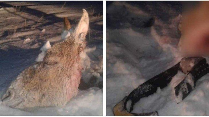 Қостанай облысында браконьерлер айналдырған 8 құланның біреуін атып әкетті