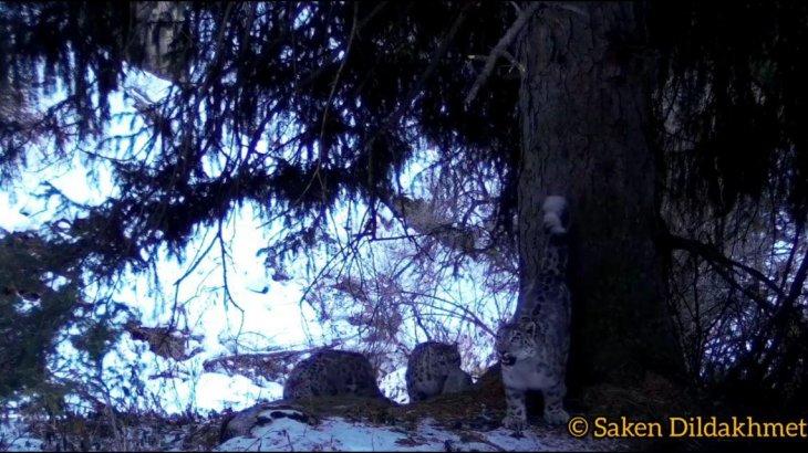 Алматы іргесінде емін-еркін жүрген барыстар бейнекамераға түсіп қалды (ВИДЕО)