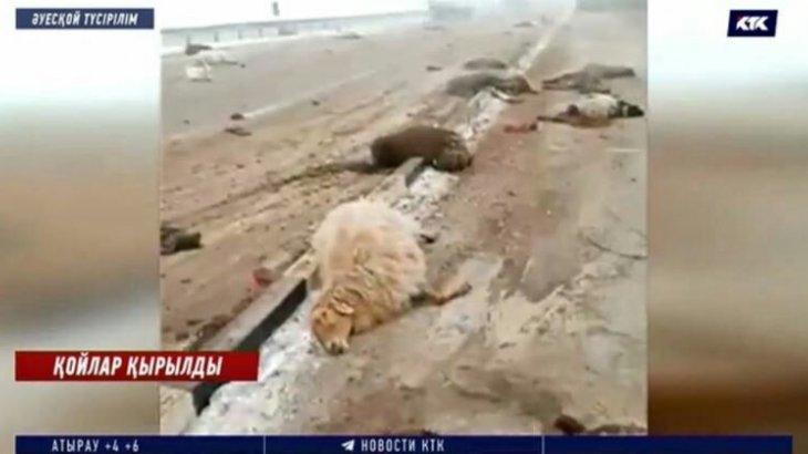 Мал өлекселері: Жамбылда екі көлік жүргізушісі бір отар қойды таптап кеткен
