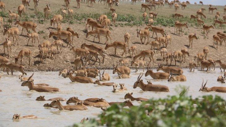 Карантин: браконьерлерден құтылған киіктер күрт көбейіп, шаруалардың жайылымын жайпауда
