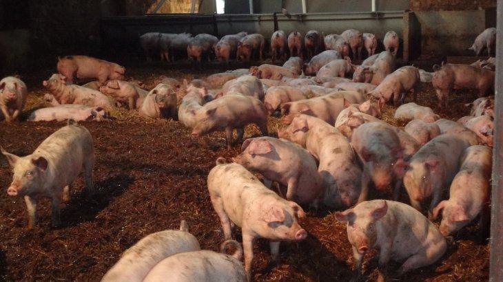 «50 мың шошқасының астын жуады»: Ақтөбе облысында ауыл тұрғындары шошқа фермасынан ығыр болған