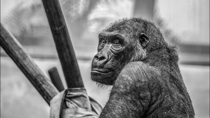 Конго халқы күнкөріс үшін гориллаларды қырып жатыр