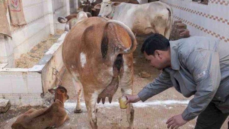 Үндістанда адамдар коронавирустан сиырдың зәрін ішіп емделіп жатыр (ФОТО)