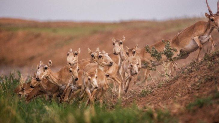 Қарағанды облысында 200-ден аса ақбөкенді қырған браконьерлер ұсталды