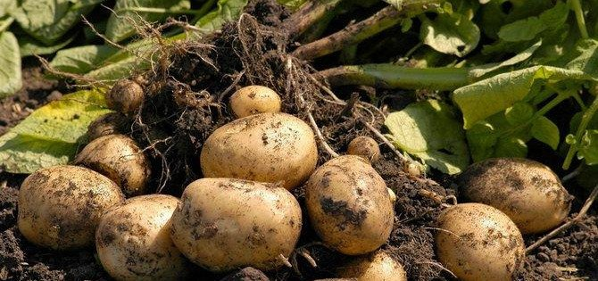 Елімізде жарты айдан астам уақытқа ғана жететін картоп қоры қалды
